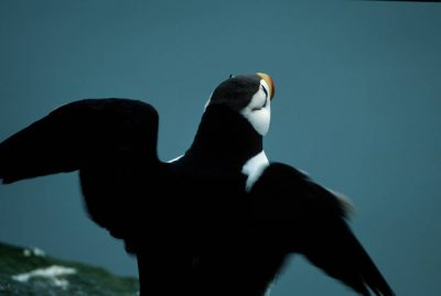 Picture of a horned puffin (Fratercula corniculata) on St. Paul Island (Pribilofs), part of the Alaska Maritime NWR.