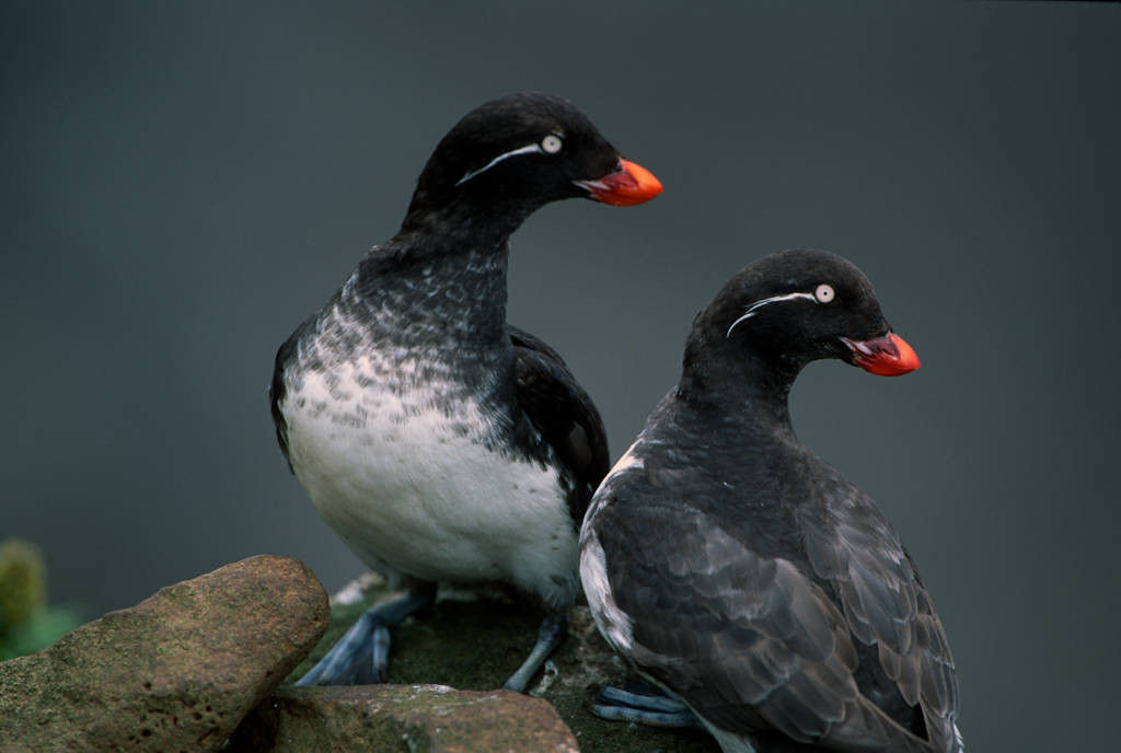 Photo: Parakeet auklets (Aethia psittacula) on St. George Island (Pribilofs), part of the Alaska Maritime NWR.