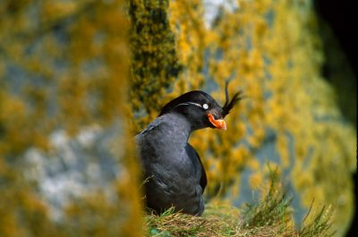 A crested auklet (Aethia cristatella) on St. George Island (Pribilofs), part of the Alaska Maritime NWR.