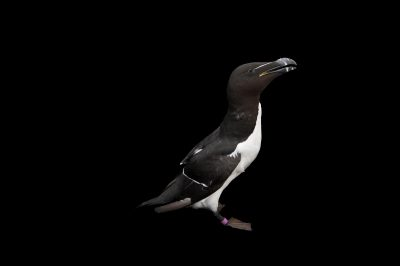 Photo: A Razorbill (Alca torda) in summer plumage at the National Aquarium, Baltimore.