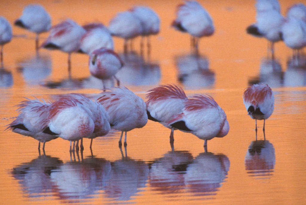 Photo: Flamingos puff up their feathers against the cold as they roost at Laguna Colorada, Bolivia.