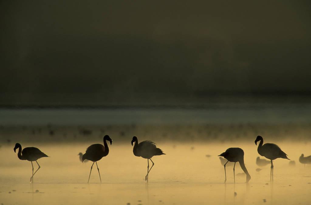 Photo: Flamingos feed at Laguna Colorada, Bolivia.