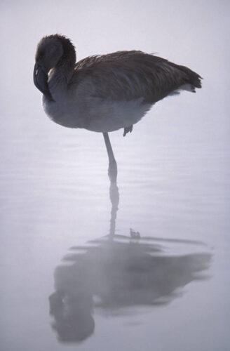 Photo: A juvenile flamingo at a hot spring in Salar de Surire, Chile.