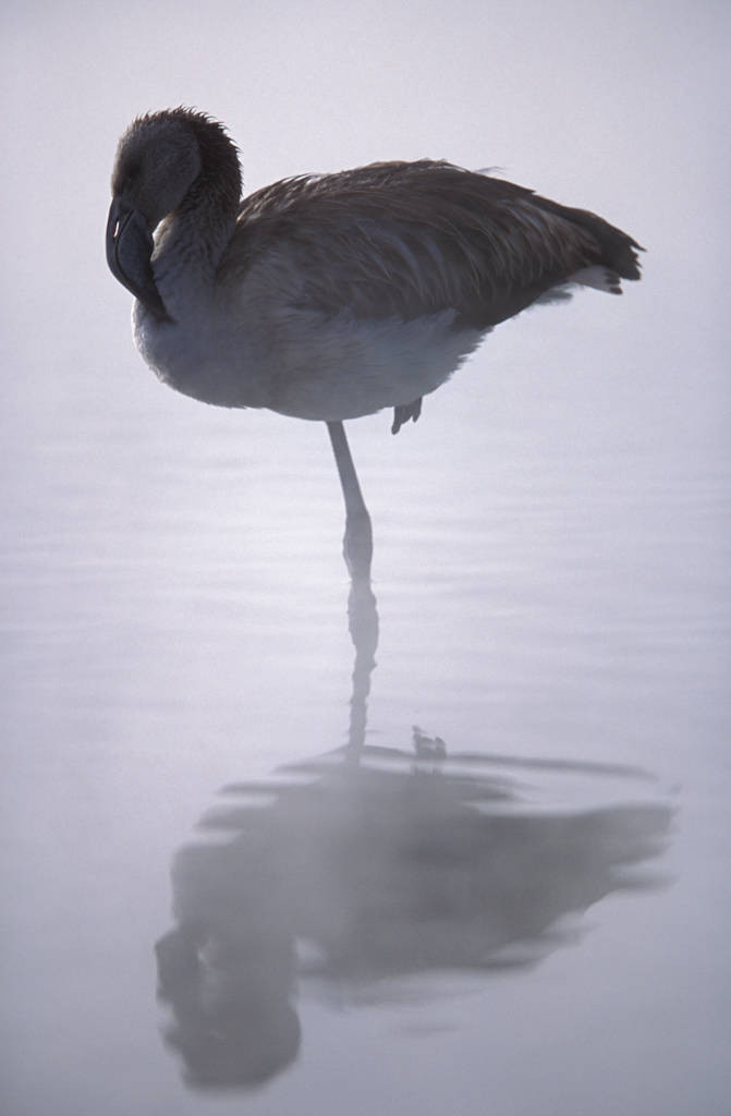 Photo: A juvenile flamingo at a hot spring in Salar de Surire, Chile.