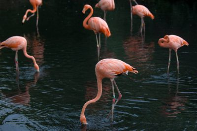 Photo: Carribean flamingoes at the Sedgwick County Zoo in Wichita,Kansas.