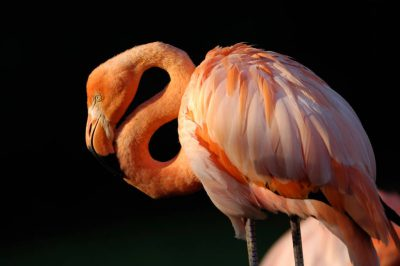Picture of Caribbean flamingo (Phoenicopterus ruber) at the Sunset Zoo in Manhattan, KS.