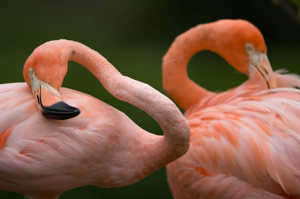 Picture of Caribbean flamingos (Phoenicopterus ruber. ruber) at the Sunset Zoo in Manhattan, Kansas.