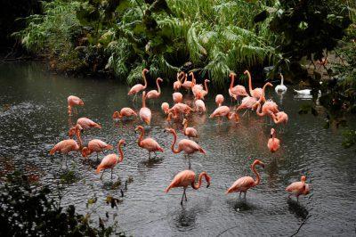 Photo: Caribbean flamingos at the Sedgwick County Zoo.