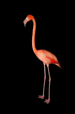 Picture of an American flamingo (Phoenicopterus ruber) at the Lincoln Children's Zoo.