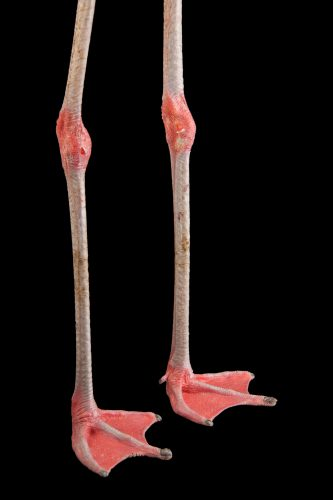 The feet of a Chilean flamingo (Phoenicopterus chilensis) at the Gladys Porter Zoo.