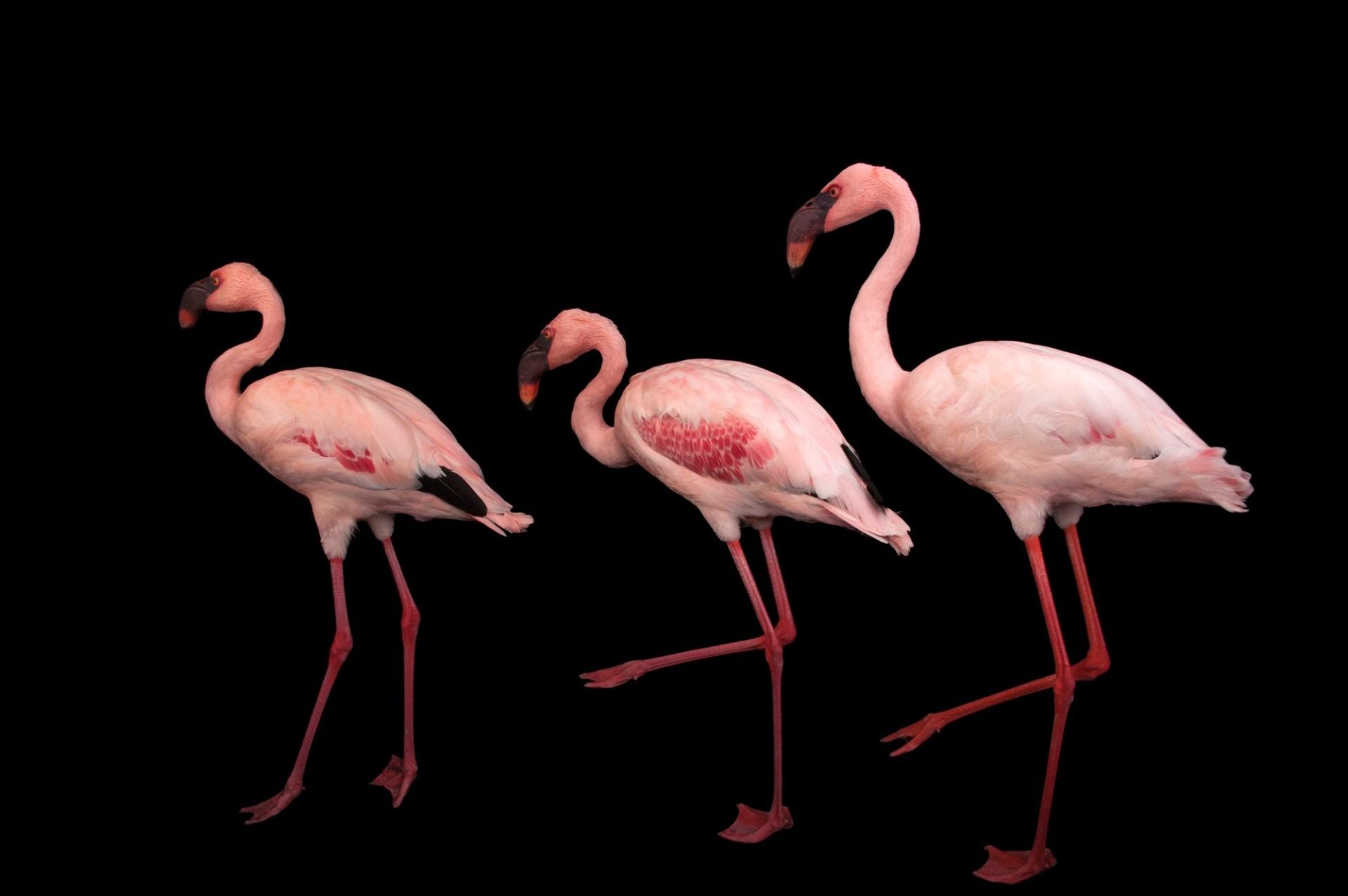 Photo: Lesser flamingos (Phoeniconaias minor) at the Cleveland Metroparks Zoo.