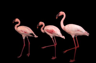 Photo: Lesser flamingos (Phoeniconaias minor) at the Cleveland Metroparks Zoo.