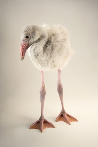 Picture of a Caribbean flamingo chick (Phoenicopterus ruber) at the Indianapolis Zoo.