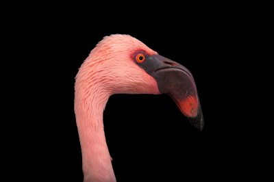 A lesser flamingo (Phoeniconaias minor) at the Cleveland Metroparks Zoo.