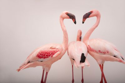 Lesser flamingos (Phoeniconaias minor) at the Cleveland Metroparks Zoo.