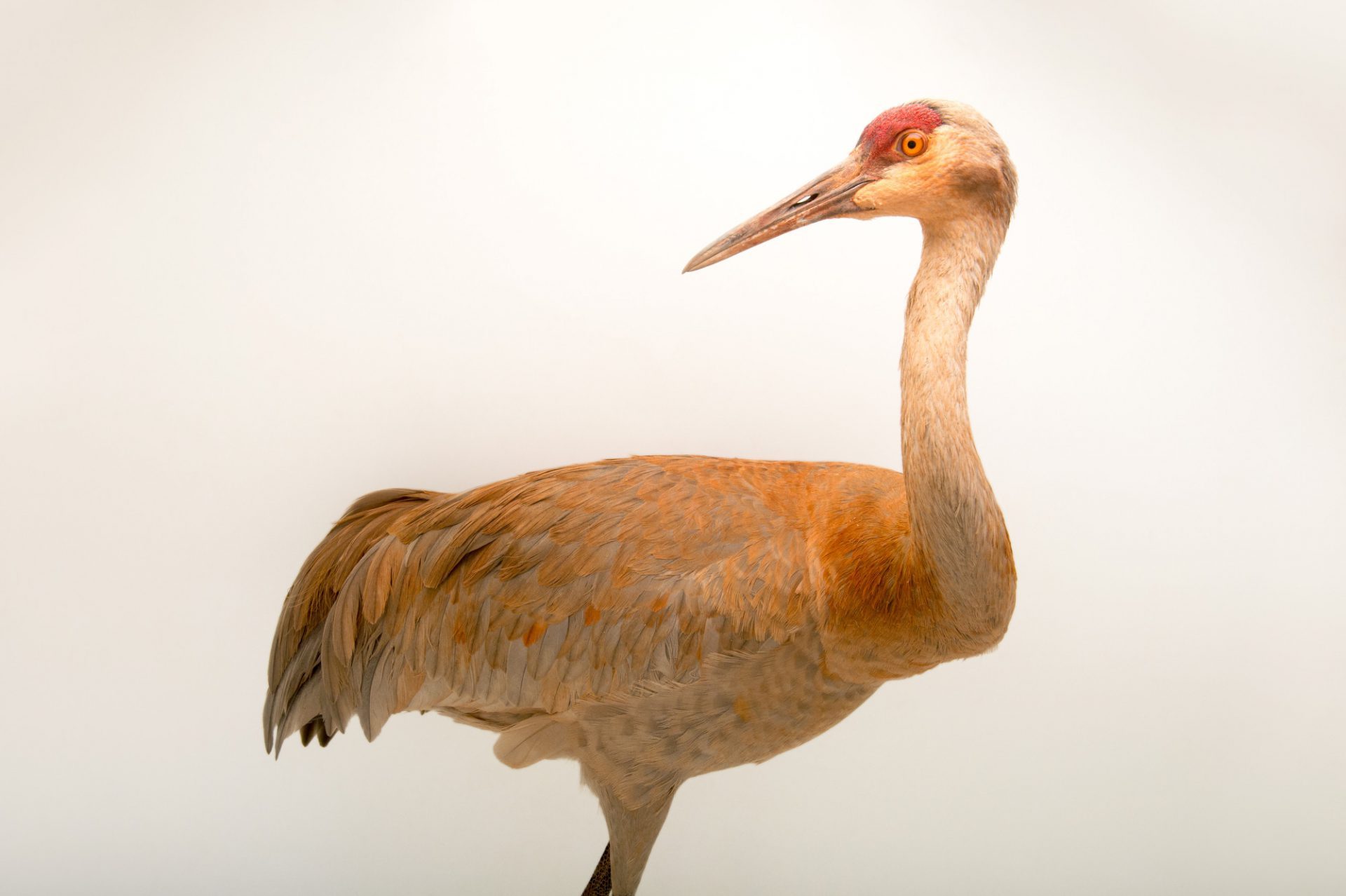 Picture of a Greater sandhill crane (Grus canadensis tabida) at Tracy Aviary.