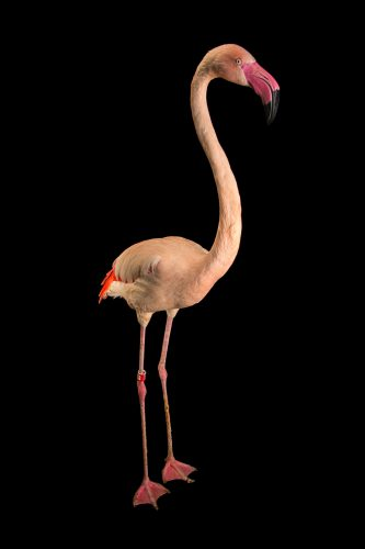 Picture of a greater flamingo (Phoenicopterus roseus) named Pauly, age 15, at the LA Zoo.