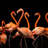 Picture of American flamingos (Phoenicopterus ruber) at the Lincoln Children's Zoo.