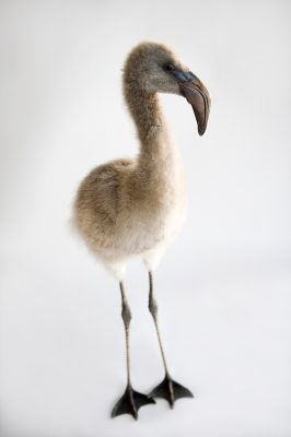 Photo: A Chilean flamingo chick, Phoenicopterus chilensis.