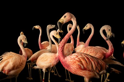Photo: Andean flamingos (Phoenicoparrus andinus) at the Berlin Zoo. This species is listed as vulnerable by IUCN.