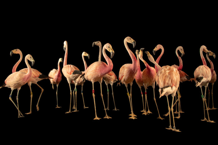 Photo: A flock of Andean flamingos (Phoenicoparrus andinus) at the Zoo Berlin.