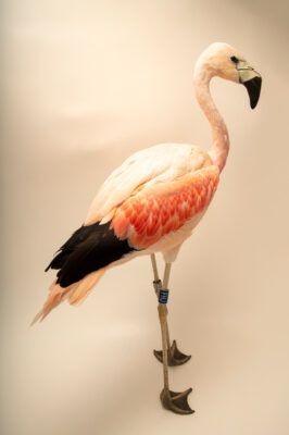 Photo: An Andean flamingo (Phoenicoparrus andinus) at the Zoo Berlin.
