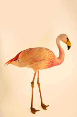 Photo: A James's flamingo (Phoenicoparrus jamesi) at the Zoo Berlin.