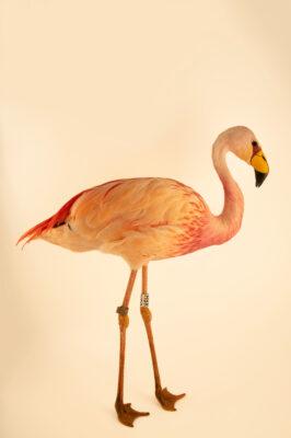 Photo: A James's flamingo (Phoenicoparrus jamesi) at the Zoo Berlin.