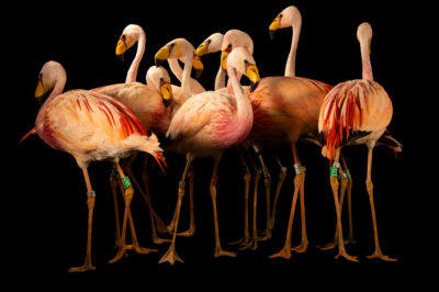 Photo: A flock of James's flamingos (Phoenicoparrus jamesi) at the Zoo Berlin.