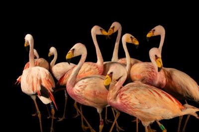Photo: A flock of James's flamingos (Phoenicoparrus jamesi) at the Zoo Berlin.