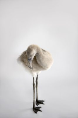 Photo: A Chilean flamingo chick (Phoenicopterus chilensis) at Houston Zoo.
