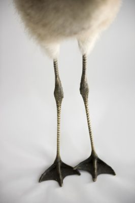 Photo: A Chilean flamingo chick's feet (Phoenicopterus chilensis) at Houston Zoo.
