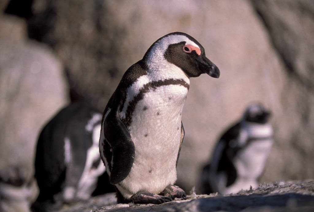 Photo: African or jackass penguins near Cape Town, South Africa.