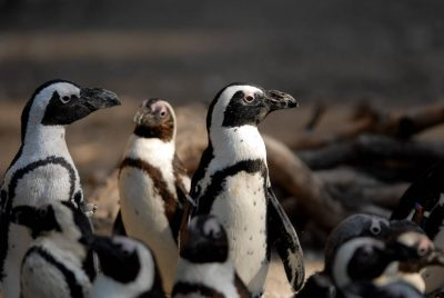 Picture of Black-footed penguins (Spheniscus demersus) at the Omaha Zoo. (IUCN: endangered)