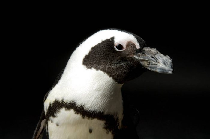 An endangered African penguin, also known as jackass or black-footed, (Spheniscus demersus) at the Bramble Park Zoo.