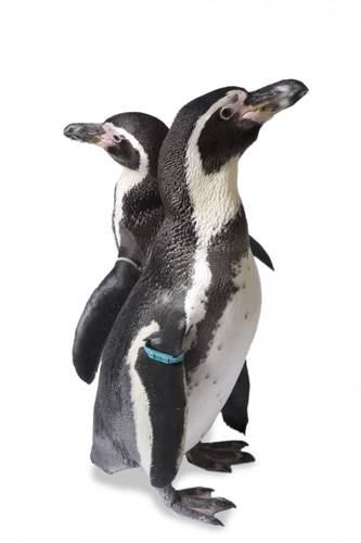 Photo: Humboldt penguins at the Great Plains Zoo. (IUCN: Vulnerable)