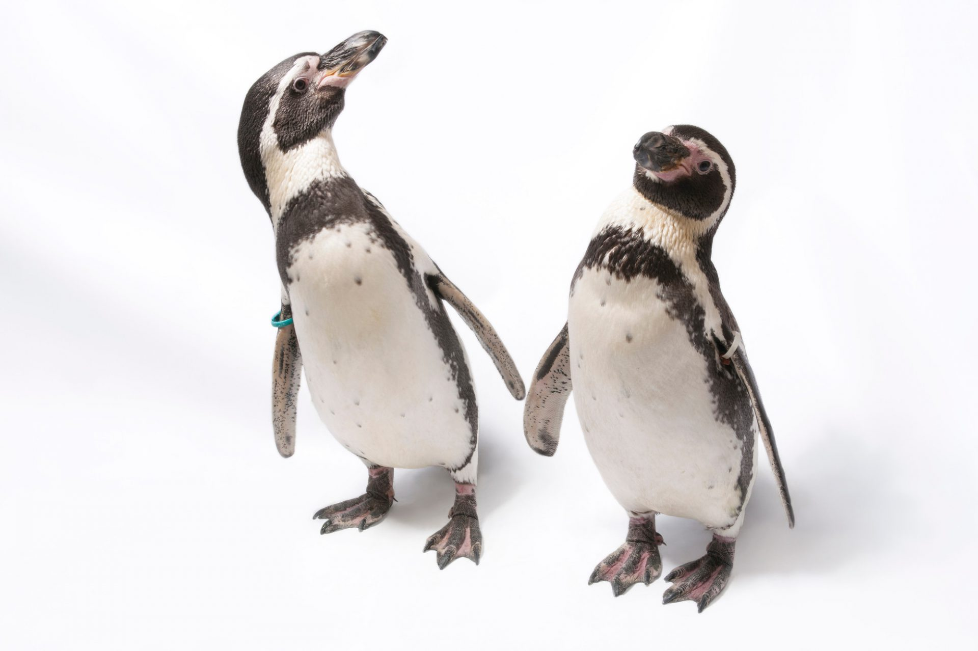 Humboldt penguins at the Great Plains Zoo. (IUCN: Vulnerable)