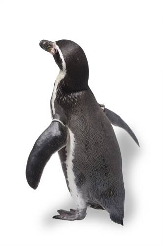 Photo: A Humboldt penguin at the Great Plains Zoo. (IUCN: Vulnerable)
