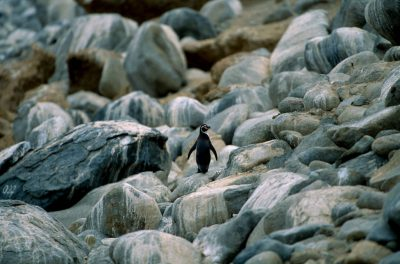 Photo: A Humboldt penguin on Chile's coastline.