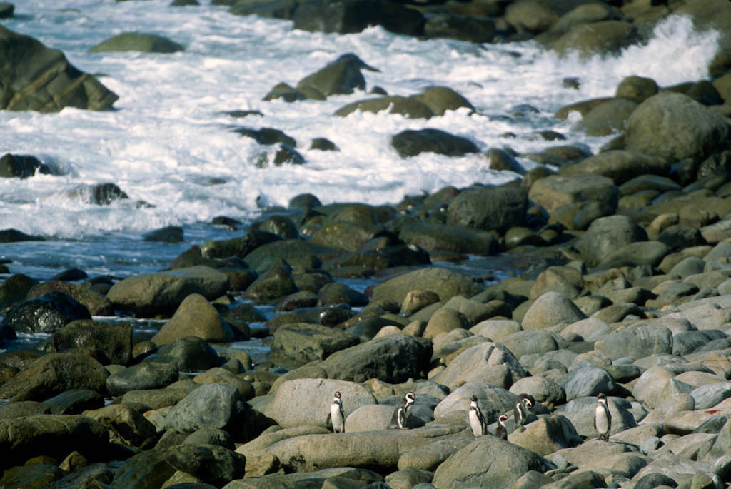 Photo: Humboldt penguins on the rocky Pacific coastline of Chile, near Antofagasta.