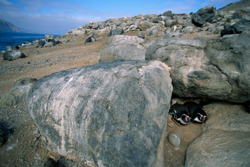 Photo: Humboldt penguins on the Pacific coast of Chile, near Antofagasta.