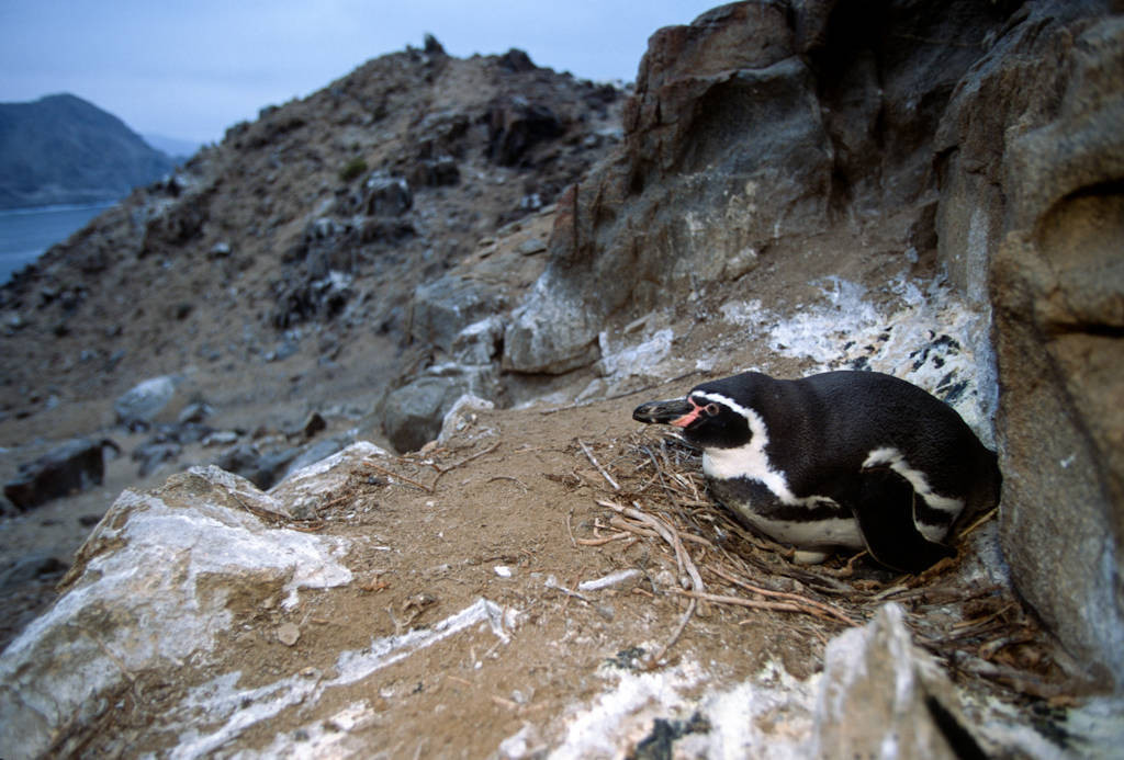 Photo: A Humboldt penguin on a nest on the Pacific coast of Chile, near Antofagasta.
