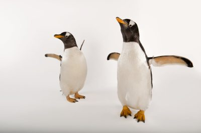 A pair of gentoo penguins (Pygoscelis papua papua) at Omaha's Henry Doorly Zoo and Aquarium.