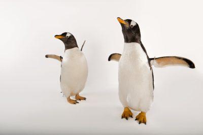 A pair of gentoo penguins (Pygoscelis papua papua).