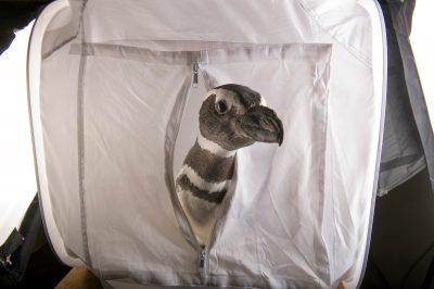A Magellanic penguin (Spheniscus magellanicus) inside a photographic shooting tent, at the Cincinnati Zoo.