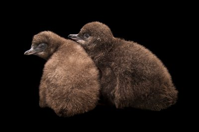 Picture of baby little blue penguins (Eudyptula minor) at the Cincinnati Zoo.
