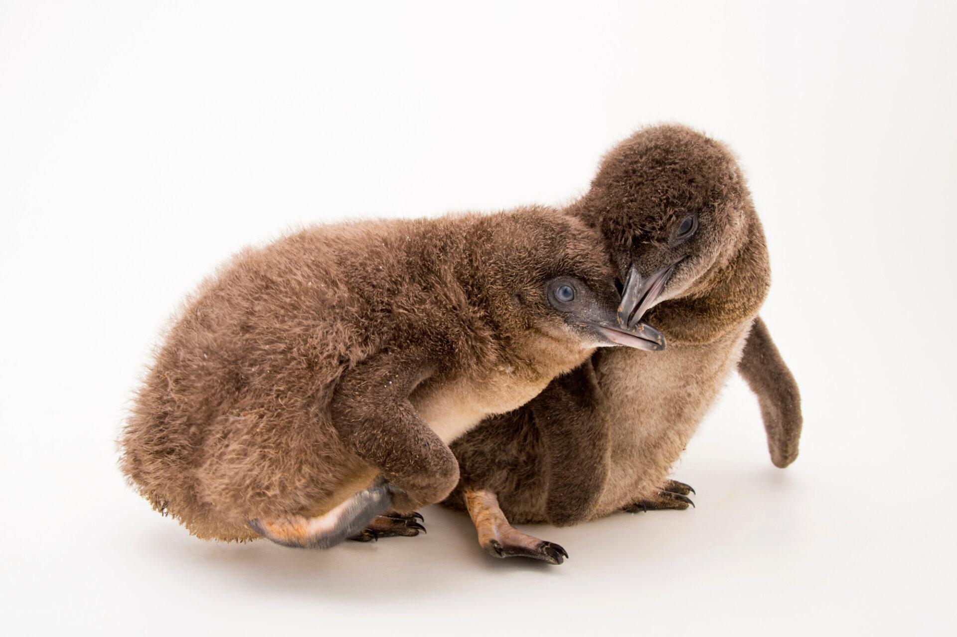 Picture of baby little blue penguins (Eudyptula minor) at the Cincinnati Zoo.