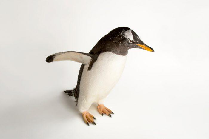 A gentoo penguin, Pygoscelis papua papua.