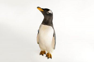 A gentoo penguin, Pygoscelis papua ellsworthii.