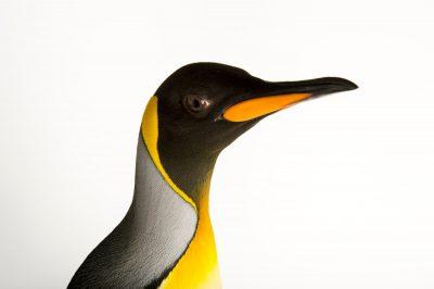 A South Georgia king penguin, Aptenodytes patagonicus patagonicus.